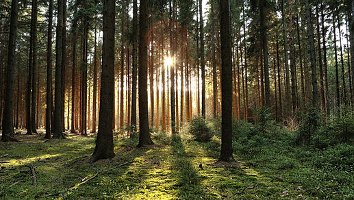 Wooded forest trees backlit by golden su