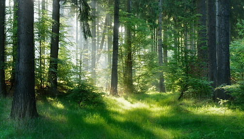 Natural Forest of Spruce Trees, Sunbeams