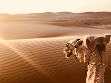 Camel At Sunset In The Desert.jpg