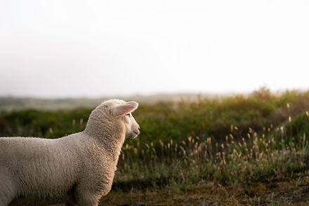 Lamb looking at horizon and sun, in gree
