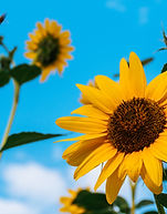 sunflowers-1322185.jpg