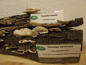 nino permakultur berlin baumpilzbestimmung