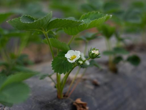 Erdbeersetzlinge (August)