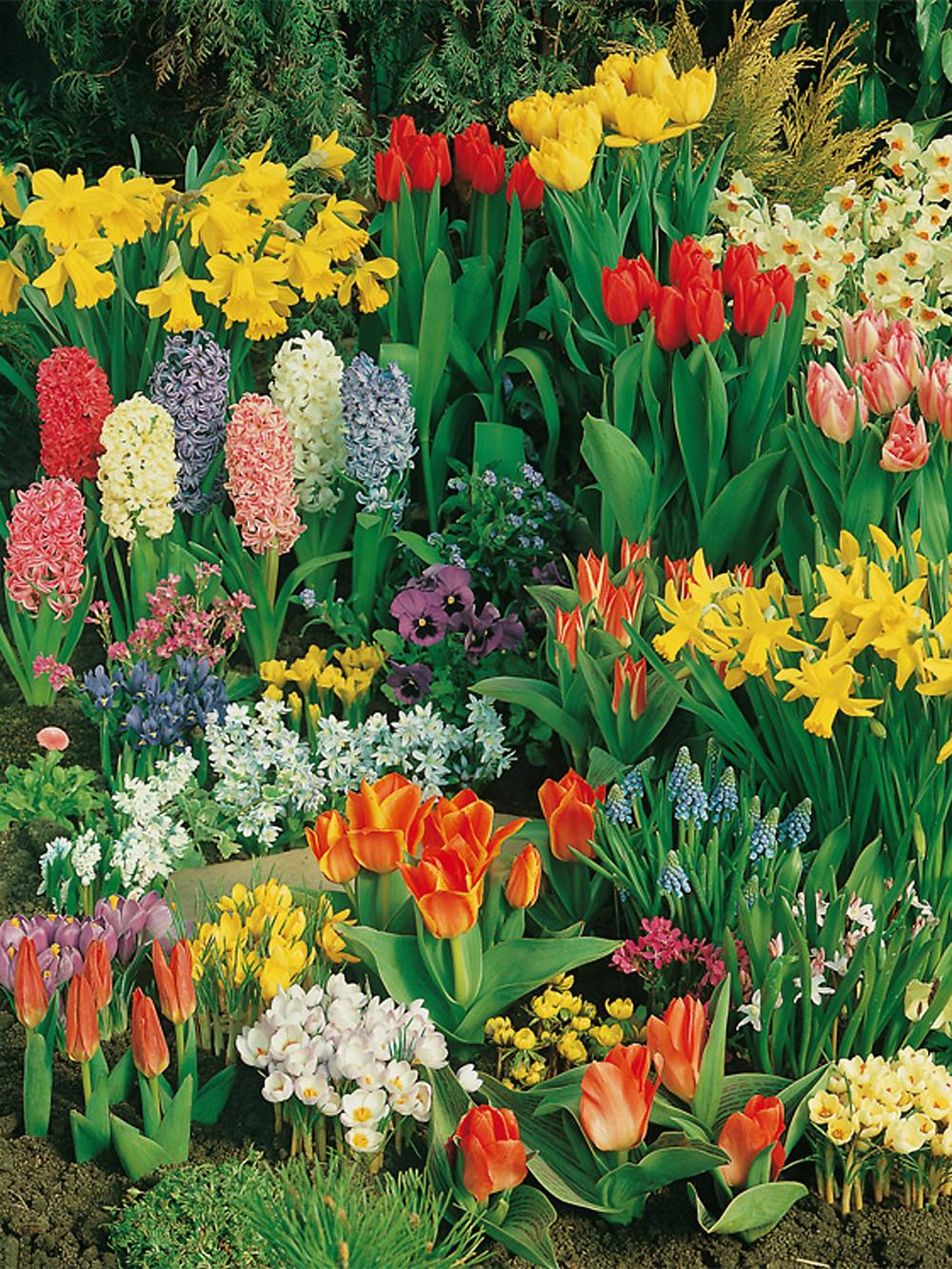 Blumenzwiebel, Frühlingszwiebel