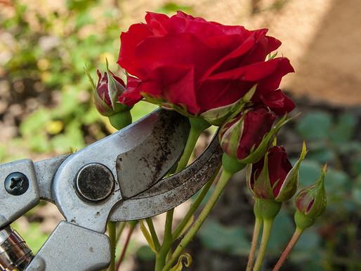 Bei Rosen verblühtes entfernen (Juli)