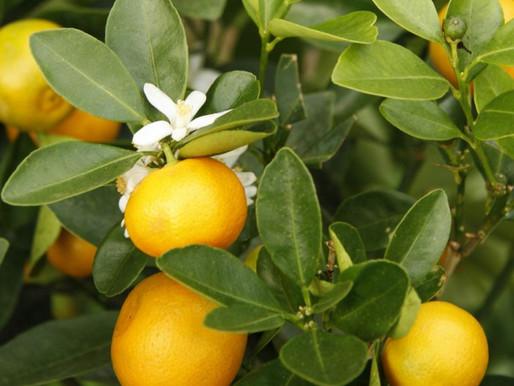 Blattfall und Blattvergilbung bei Zitruspflanzen (April)