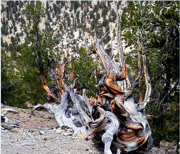 California tree ring dating