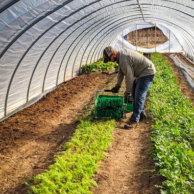 Quick Greens Harvester