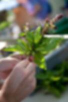 orchard pond organic basil