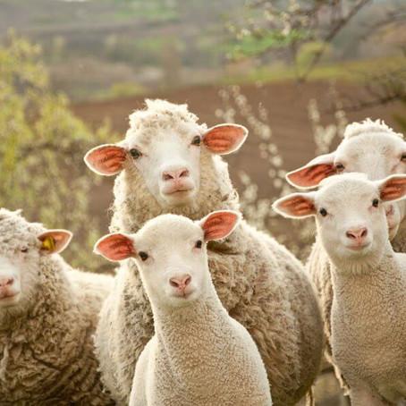 A hordozókendők összetétele - Gyapjú (wool)