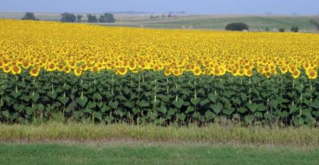 On Sunflowers