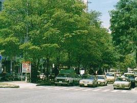 札幌市・駅前通りハルニレ並木植栽工事