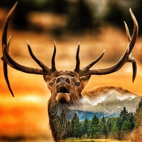 Teton Elk