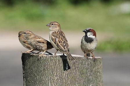 house_sparrows.jpg