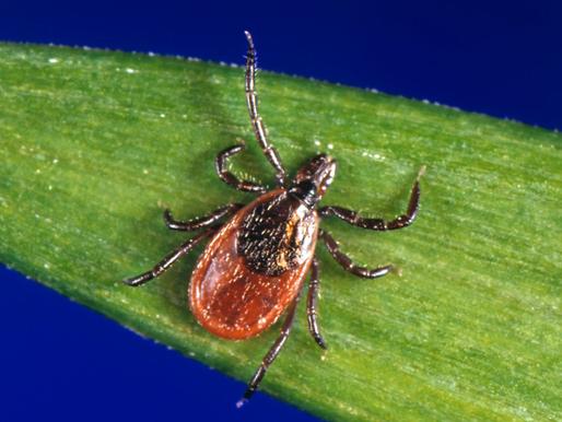 Du lịch trên bãi biển California: cẩn thận với bọ ve mang bệnh Lyme