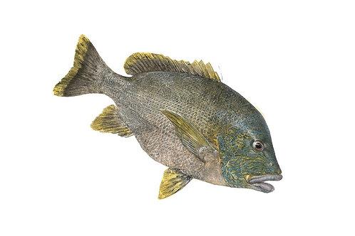 Maori Sea Perch