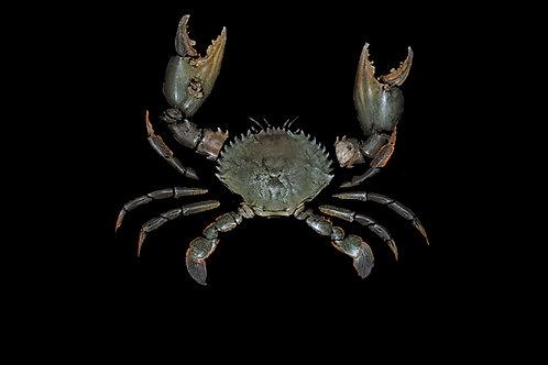Mud Crab (Samoan Crab)