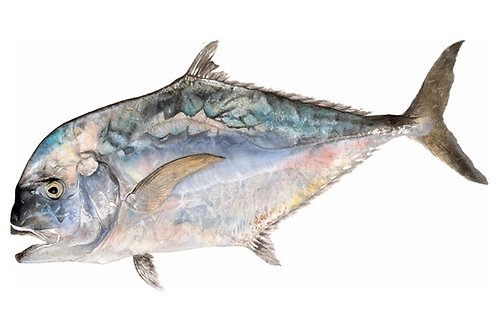 African Pompano (Kagami)