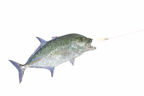 Bluefin Trevally Chasing fly