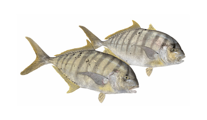 Golden Trevally pair