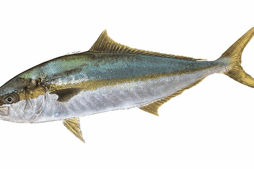 Yellowtail (Kingfish)