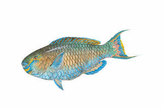 Male whiptail parrotfish