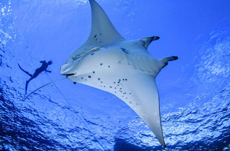 Manta-Ray-season-Olhuveli-Beach-and-Spa-