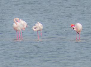 cagliari fenicotteri rosa quartu.JPG