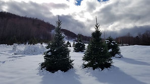 The Christmas tree farm at Cobble Hill under a new blanket of snow.