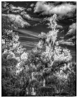 Ken Cashon - Mead Garden Trees