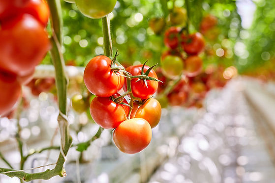 Flavorite_Tomatos on plant 0433.jpg