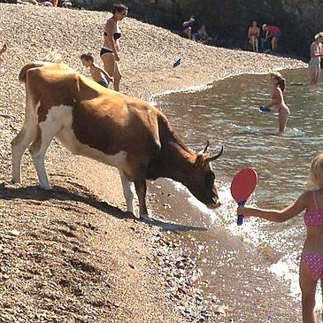 Des vaches au bord de l'eau