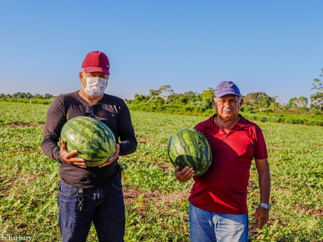 Mâncio Lima inicia colheita da melancia, fruta rica em vitaminas e minerais e a queridinha do verão