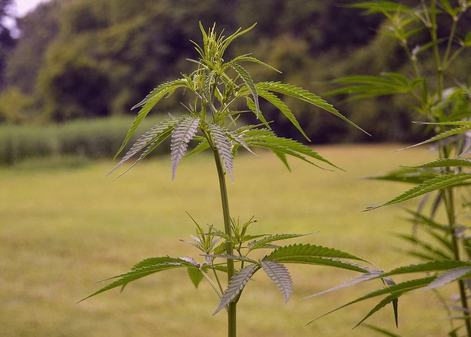 canapa light vegetativa