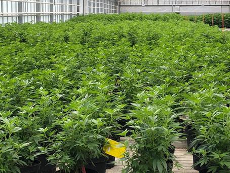 La vendita all'ingrosso e al dettaglio di Cannabis Light e' legale.