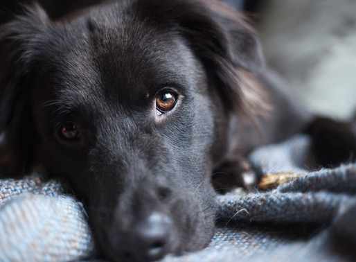 Animal cruelty could soon become a federal crime- but why are puppy mills still allowed?