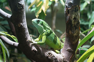 banded-fiji-iguana-885596_1920.jpg