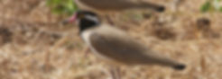 Black-heded Lapwing, Palmarin 5_2 2017.j