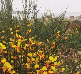 Gyvelbuskene blomstrer, nord f. Aarsdale
