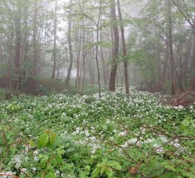 Ramsløg i bondeskoven