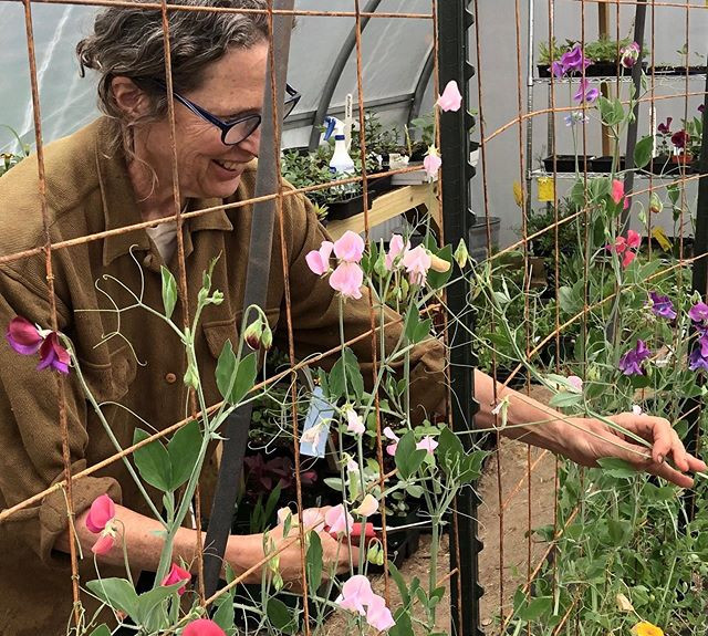 Sweet peas in the high tunnel