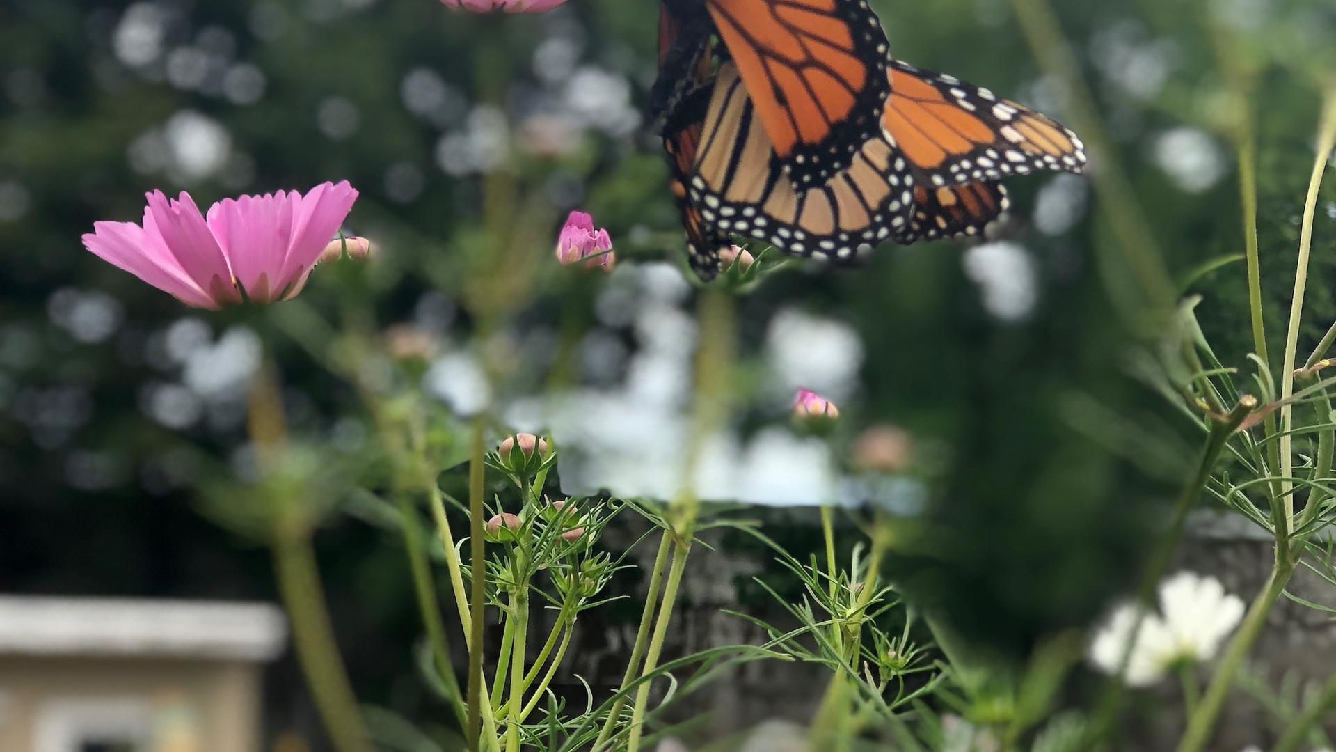 Butterflies appreciate our organically grown flowers