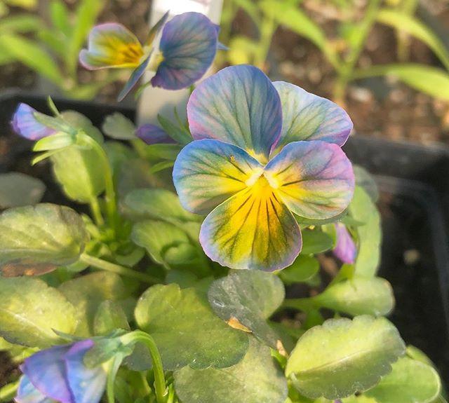 Viola Wittrockiana grown from seed