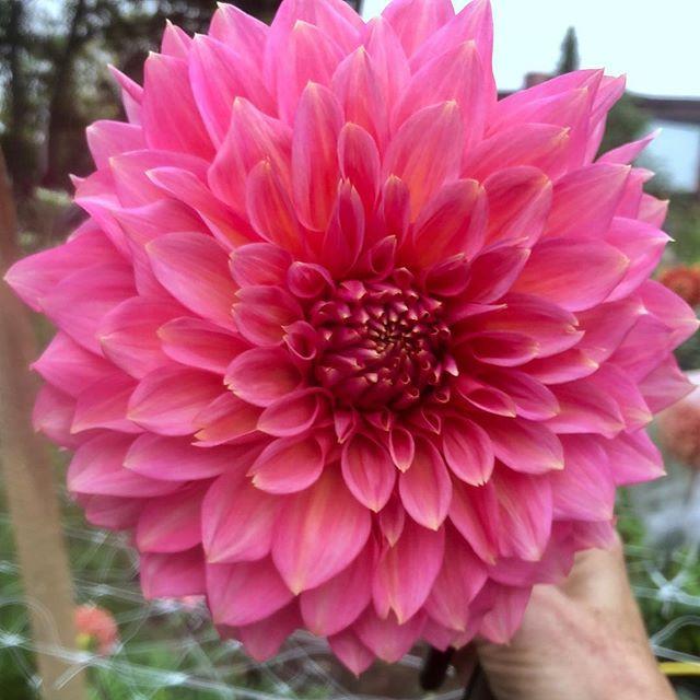 Big fat pink dahlia