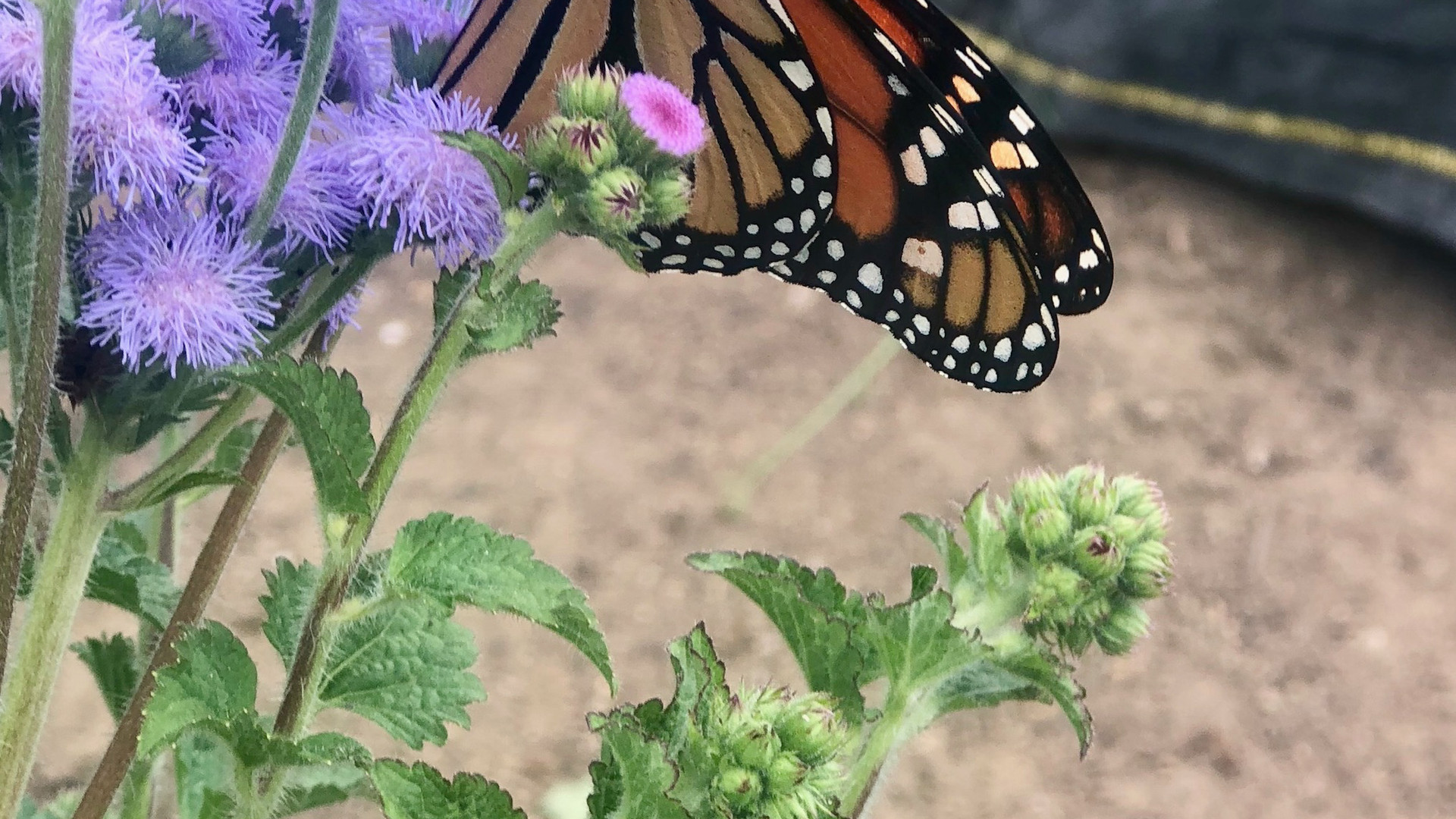 Butterflies amongst our flowers