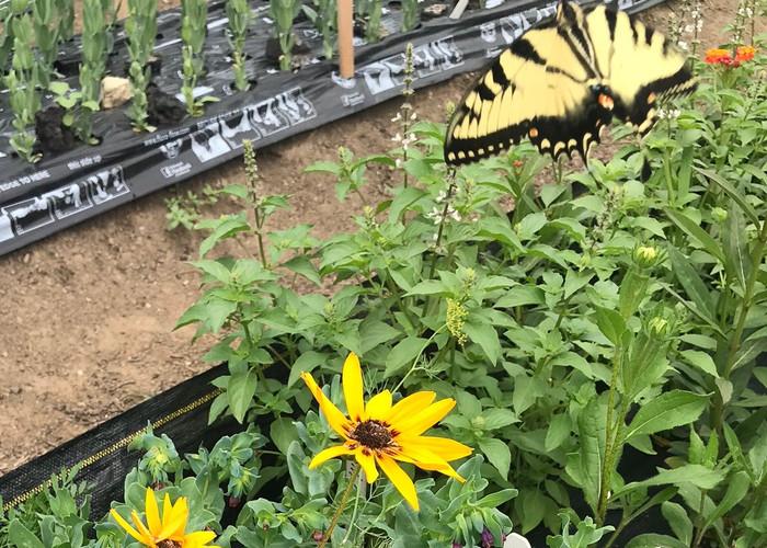 Butterflies keep us company in the fields