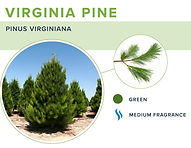types-of-christmas-trees-virginia-pine.j