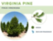 types-of-christmas-trees-virginia-pine.j