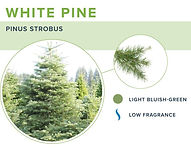 types-of-christmas-trees-white-pine.jpg