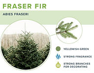 types-of-christmas-trees-fraser.jpg